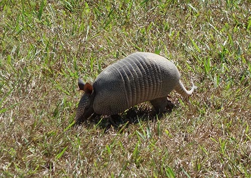 Armadillos are a source of leprosy